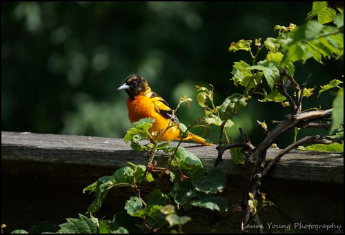 Young male oriole