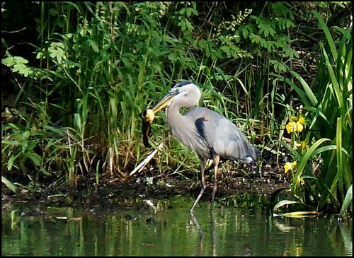 Heron big fish