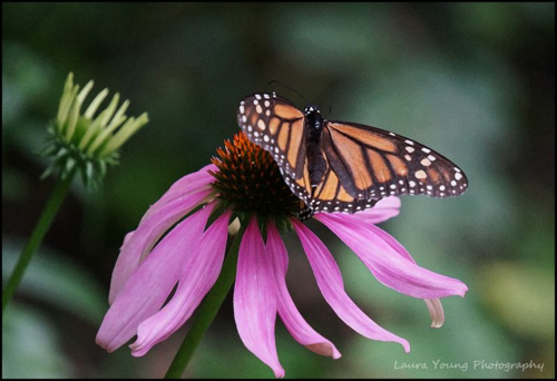 Tattered monarch 1