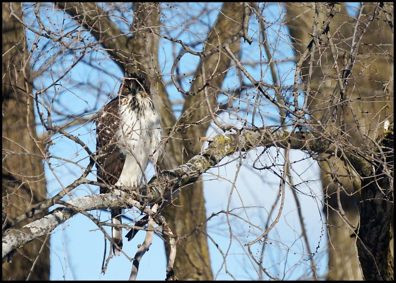 Red tail 1