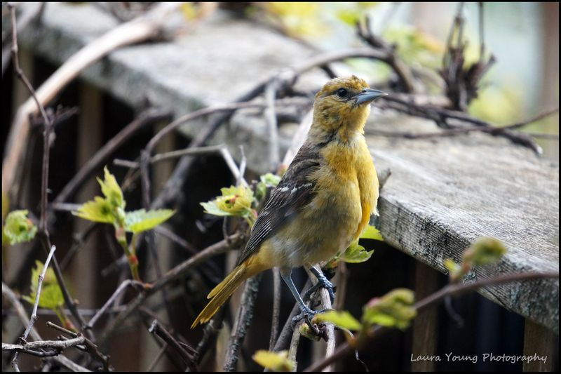 Young oriole