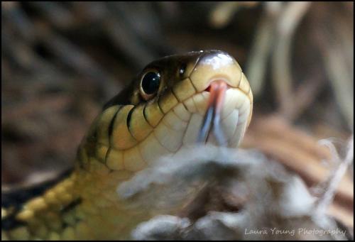 Gartern snake close up