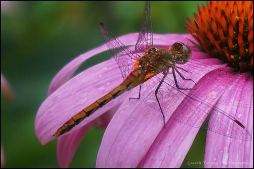 Dragonfly echinacea 1