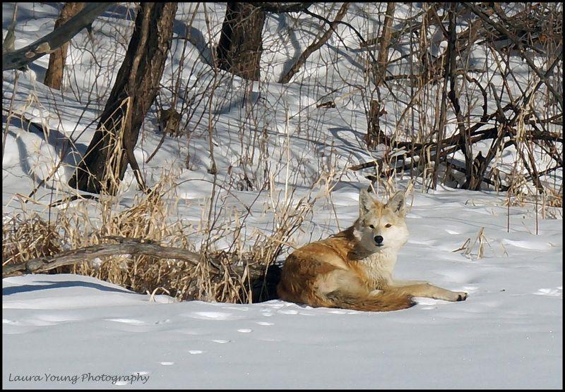 Coyote1 wm